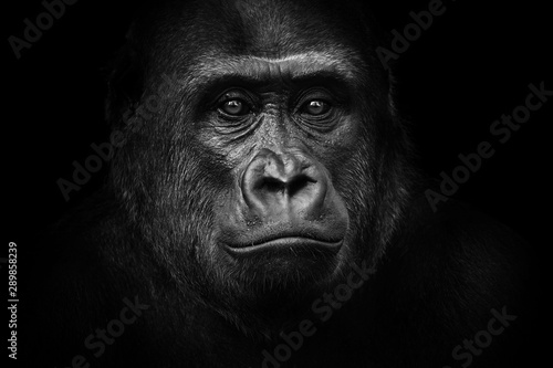 Photo Black and white gorilla