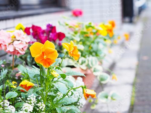 Papiers peints Pansies colorful pansy flowers in pots