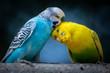 canvas print picture - Zwei süße kuschelnde Wellensittiche als Motiv für Liebe
