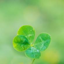 Vierblättriges Kleeblat Four-leaf Clover Grün Green Glück Fortune Echt Good Luck 4 Irland Ireland St Patrick