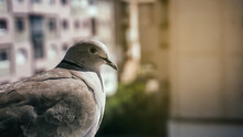 Close Up Of Pigeon Columbidae Eurasian Collared Dove Streptopelia