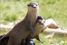 A Pair Of River Otters Showing...