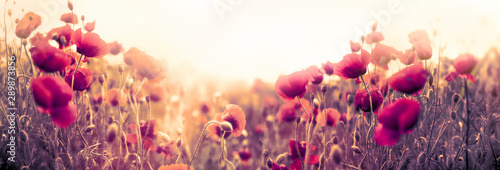 Poppy flower, wild red poppy flower in meadow - 289873856