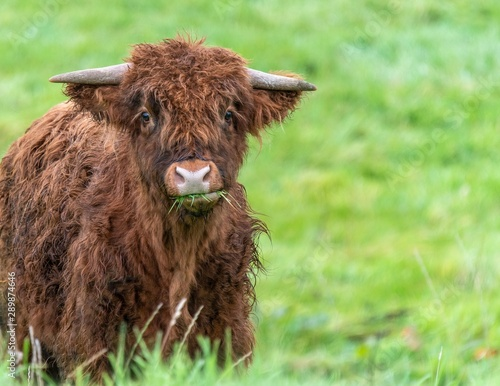 Fototapeta A close up photo of two Highland Cows in a field  obraz