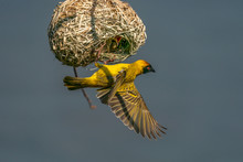 Southern Masked Weaver Male Feeding Baby