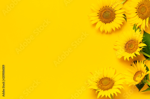 Fototapeta Beautiful fresh sunflowers with leaves on stalk on bright yellow background