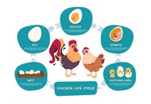 Chicken Life Cycle. Chicken And Rooster Cartoon Infographic With Life Steps From Nest Egg To Embryo Baby And Grown Hen. Vector Images Set Chart Development Bird In Nature