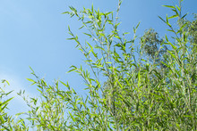 Bamboo Phyllostachys Bissetii, In Japanese Garden With Pond And Blue Sky