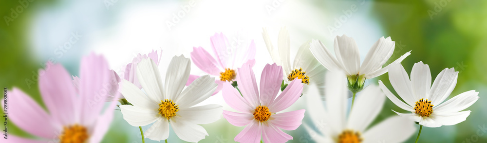 Fototapety, obrazy: beautiful white flowers in the garden on green background сloseup