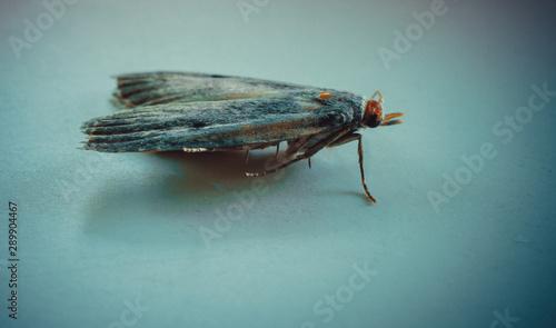 Ćma, nocny motyl, zdjęcia ultra makro - 289904467