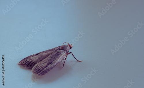 Ćma, nocny motyl, zdjęcia ultra makro - 289904498