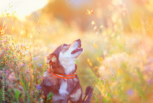 cute brown dog walks on a clear Sunny meadow and smiles looking at a flying butt Fototapeta