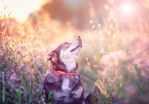 Obraz na plátně  cute brown dog with butterfly Machaon on his nose sits on a clear Sunny meadow a