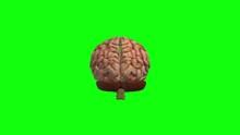 Green Screen Brain Rotating In...