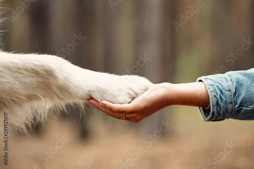 Obraz Dog is giving paw to the woman. Dog's paw in human's hand. Domestic pet - fototapety do salonu