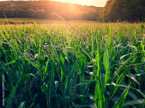 coucher de soleil à travers des feuilles d'un champ de maïs Fototapet