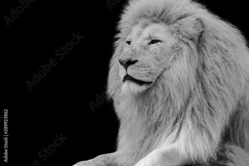 Fototapety, obrazy: black and white portrait image of  lion