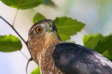 Adult Cooper's Hawk (Accipiter Cooperii) Portrait