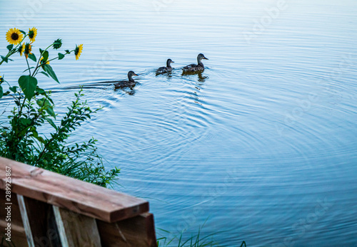 Photo  Colorado Peaceful Lake with ducks and daisys