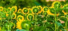 Sunflowers Field Back Side