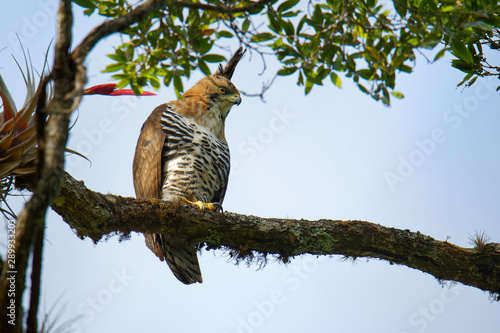 Ornate hawk-eagle - Spizaetus ornatus a bird of prey from the tropical Americas Canvas Print