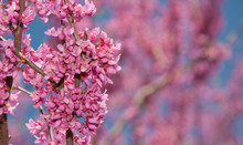 Pink Flower Clusters Of An Eastern Redbud Tree In Early Spring, With Copy Space On Right