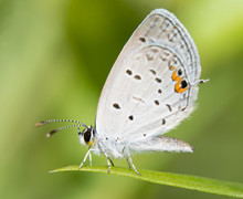 Tiny Eastern Tailed Blue Butterfly Resting On A Blade Of Grass Against Summer Green Background