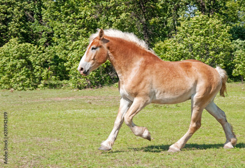 Belgian draft horse  cantering in spring pasture