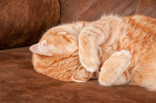 Orange Tabby Cat Taking A Nap, Covering With His Paw Over His Eyes