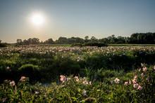 Field Of Swamp Flowers Pink Ro...