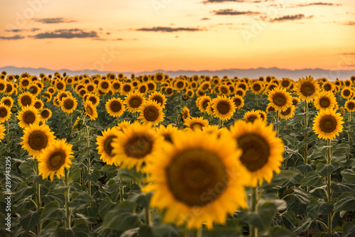 Sunflower Fields at Sunset Colorado