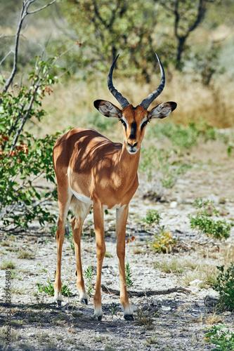 Blackfaced impala (Aepyceros melampus petersi) Wallpaper Mural