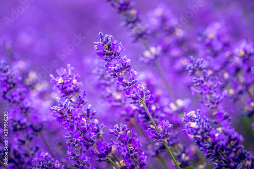 Fototapety, obrazy: Blooming lavender fields in Pacific Northwest USA