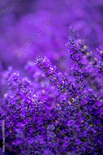 Blooming lavender fields in Pacific Northwest USA
