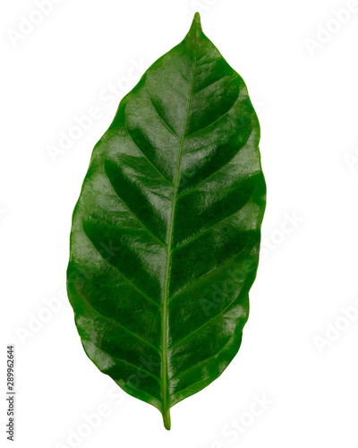 Arabica coffee leaf,  Green coffee leaves, isolated on white