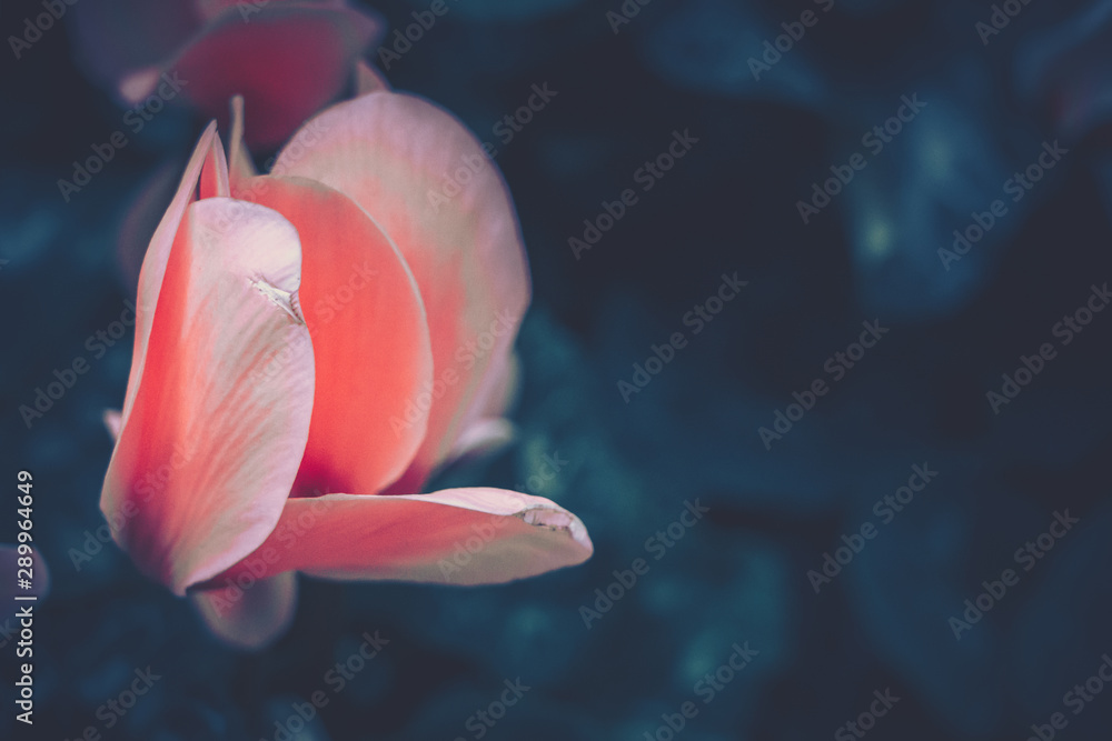 Fototapety, obrazy: Close up of Cyclamen persicum in vintage style