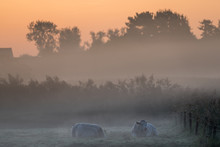 Lying Cows On A Beautiful Fogg...