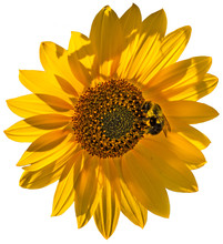 Backlit Sunflower With Bee