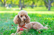 canvas print picture - dog apricot poodle lying on the grass