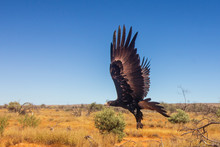 Wedge-tailed Eagle. Large Australian Eagle In Flight