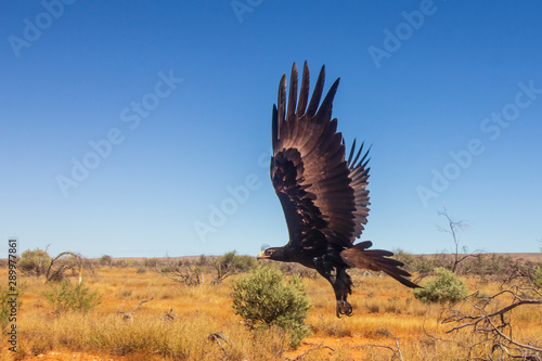 Slika na platnu Wedge-tailed Eagle. Large Australian Eagle in flight