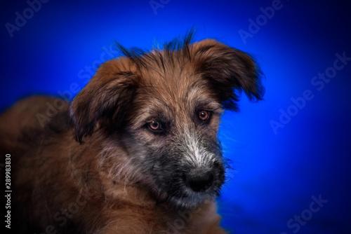 Cute mongrel dogs on a blue background. Portrait. Fototapete