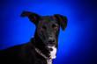 canvas print picture - Cute mongrel dogs on a blue background. Portrait.