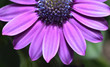 Leinwanddruck Bild - Beautiful and bright Osteospermum flower of violet color, very close-up, macro. Dimorphotheca daisy