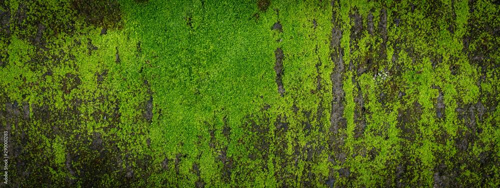 Fototapeta Moss green texture. Moss background. Green moss on grunge texture, background. Long web banner
