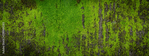 Moss green texture. Moss background. Green moss on grunge texture, background. Long web banner - 290000283