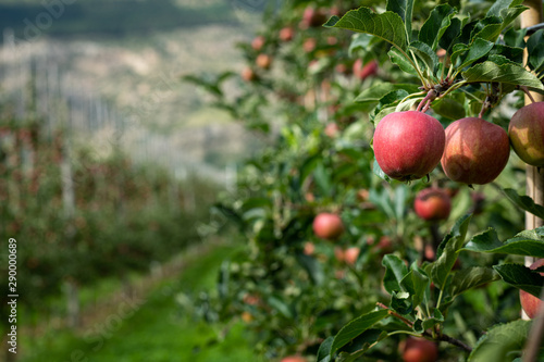 Fotografía  Red apples in an apple plantation in South Tyrol