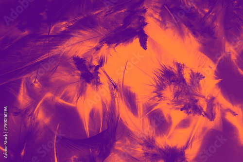 Poster Violet Beautiful closeup textures abstract colorful dark black red yellow and orange feathers and darkness pattern feather background and wallpaper