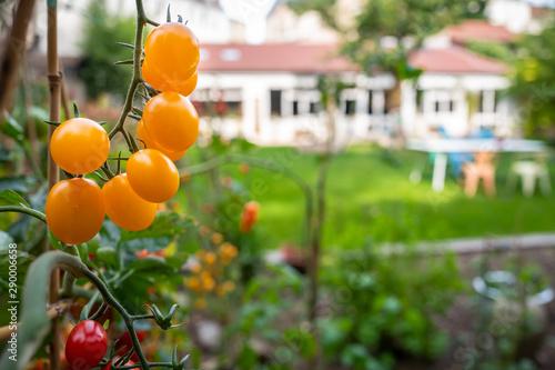 Obraz tomates cerises dans le potager - fototapety do salonu