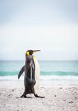 pingwin królewski dumnie na plaży - 290011400